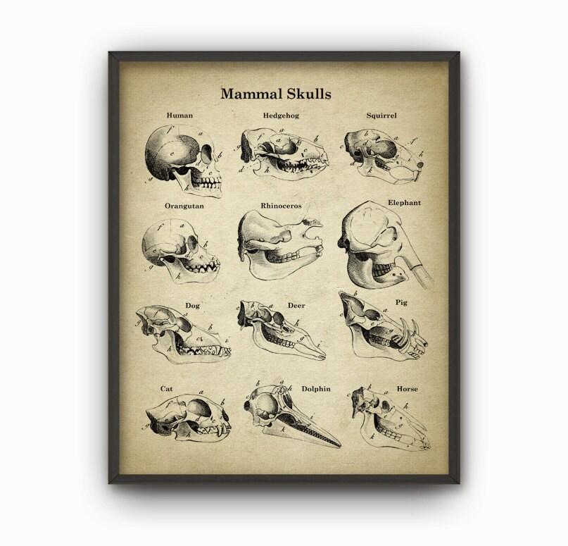 Mammal Skulls Anatomy Poster Mammal Skull Skull Illustration   Etsy