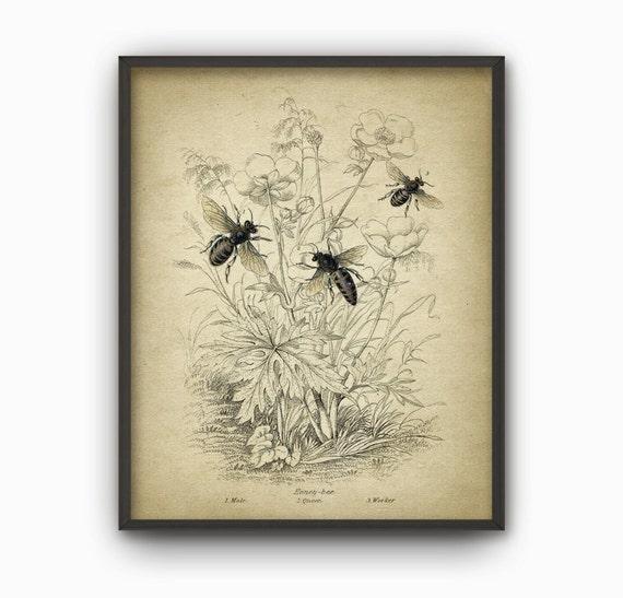 Cosecha miel abeja lámina abeja reina trabajador zángano | Etsy