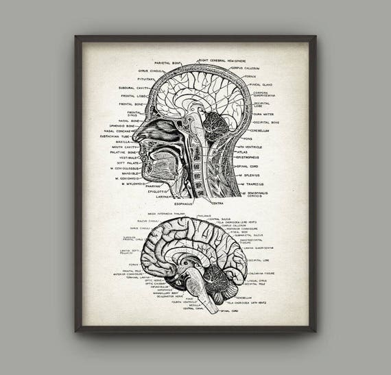 Head and Brain Antique Anatomy Wall Art Poster 2   Etsy