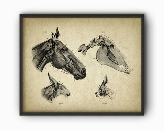 Horse Head Anatomy Poster Horse Illustration Print Etsy