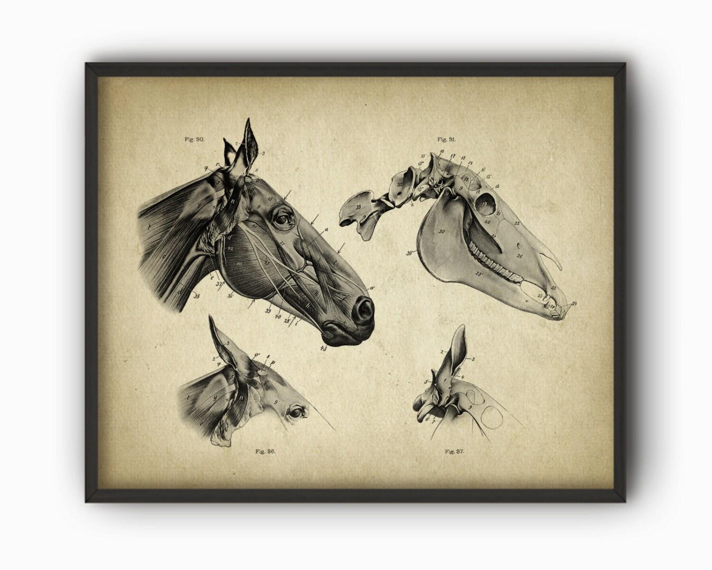 Pferd Kopf Anatomie Poster Pferd Illustration Print   Etsy