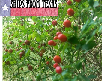 CHILE PEQUIN, Capsicum annuum aviculare, Hot HOT Pepper, Packs Quite a Wallop, Texas Tough, 25 Fresh Seeds
