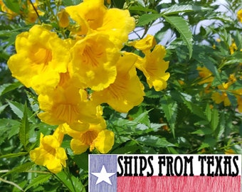 Yellow Elder Tecoma Stans Yellow Trumpetbush Herliom A037 5 Seeds Yellow Bells Seeds Perennial