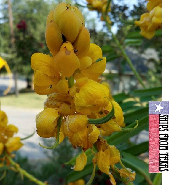 BUTTERFLIES garden plant 50 seeds CASSIA ALATA MEDICINAL SENNA Candle Bush tree