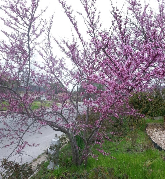 Mexican Redbud Cercis Canadensis Var Mexicana Beautiful Etsy