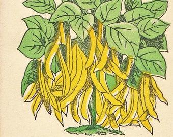 1910s CARD SEED CO. Fredonia, N. Y. Golden Wax Beans Unused Vintage Seed Pack