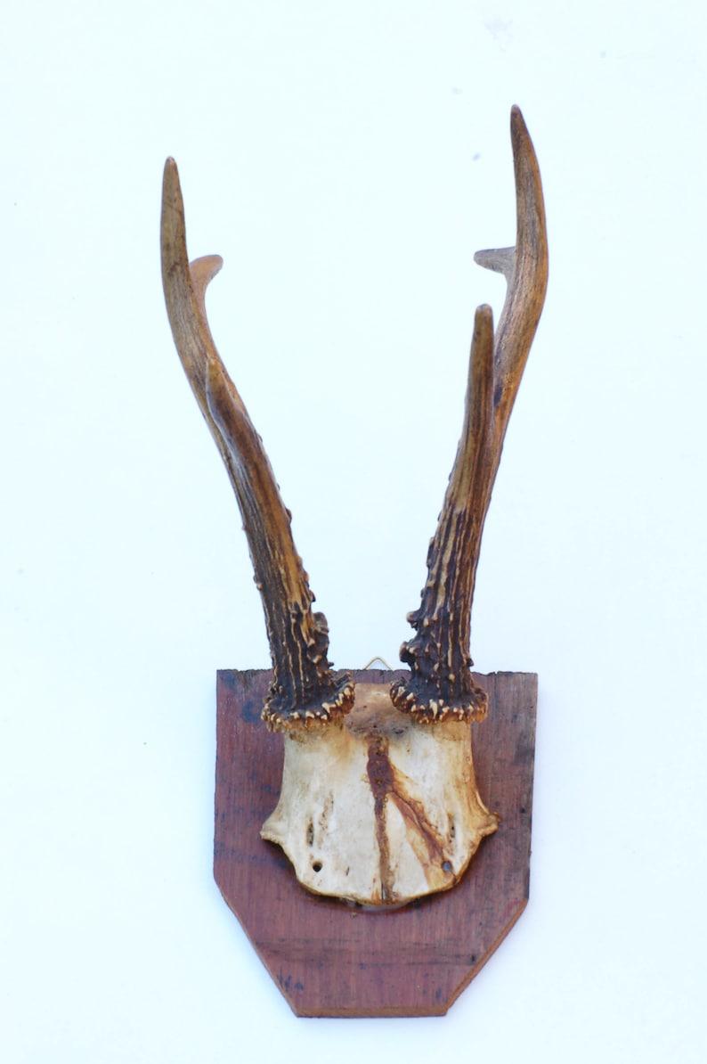 cr\u00e2ne et bois de chevreuil Authentique ancien troph\u00e9e de chasse brocante fran\u00e7asie porte manteau