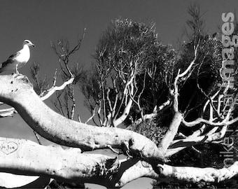 Redondo Beach Bird Photograph Art Print California