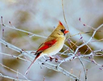 Female Cardinal Bird Photography Bird Print Photography Art Print Home Decor Art High Quality Prints Nature Photography Prints Bird Photo