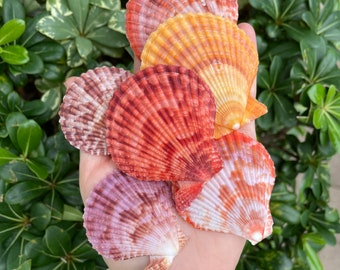 Clear Finish Florida Shelling Gifts Gift Idea Assortment | Gifts For Appetizer Seashell Picks