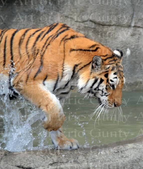 Jungle Tiger Safari Birthday ~ Edible 2D Fondant Birthday Cake/Cupcake Topper ~ D22380
