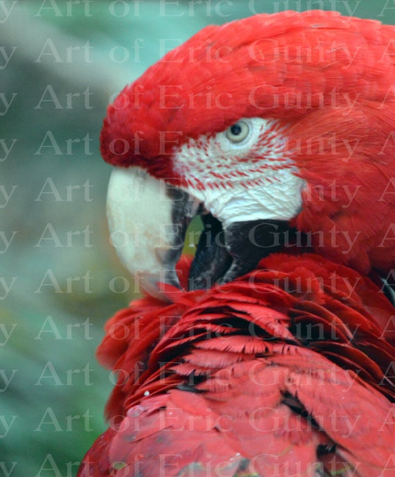 Jungle Safari Parrot Birthday ~ Edible 2D Fondant Birthday Cake/Cupcake Topper ~ D22375