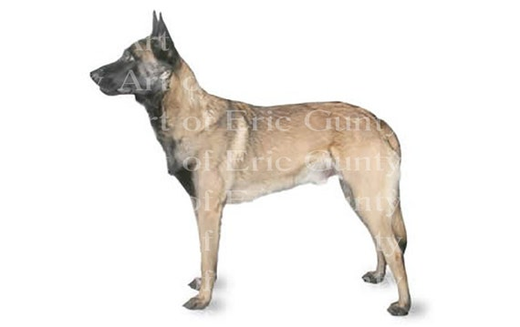 Belgian Malinois Dog Birthday - Edible Cake and Cupcake Topper For Birthdays and Parties! - D20816
