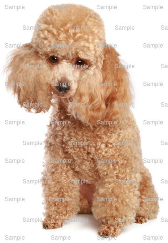 Toy Poodle Dog Birthday - Edible Cake and Cupcake Topper For Birthday's and Parties! - D6754