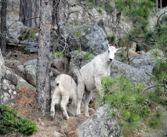Mountain Goats Birthday - Edible Cake and Cupcake Topper For Birthday's and Parties! - D20340