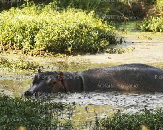 Stalking Hippo ~ Edible 2D Fondant Birthday Cake/Cupcake Topper ~ D21089
