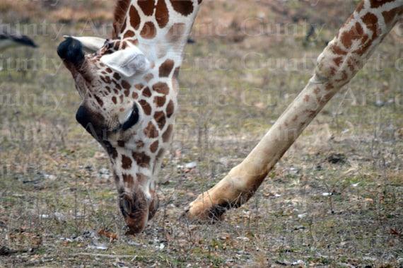 Giraffe Eating Safari Birthday ~ Edible 2D Fondant Birthday Cake/Cupcake Topper ~ D22366