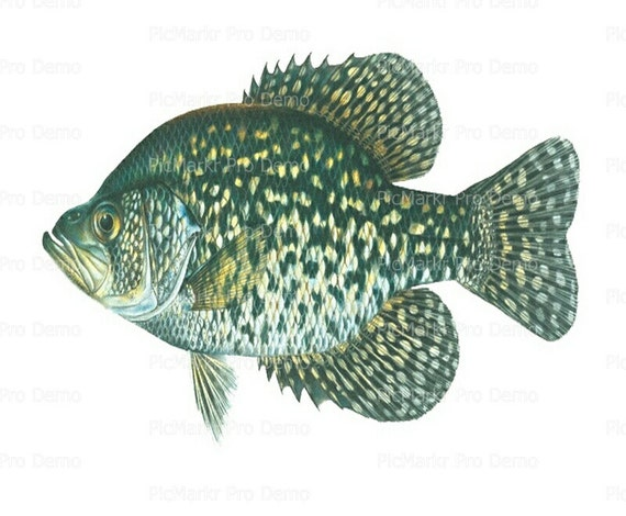 Ocean Life Crappie Birthday - Edible Cake and Cupcake Topper For Birthday's and Parties! - D7937