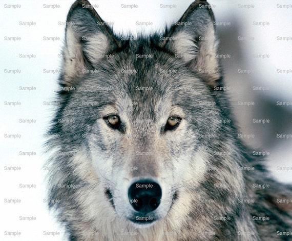 Grey Wolf ~ Edible 2D Fondant Birthday Cake/Cupcake Topper ~ D3694