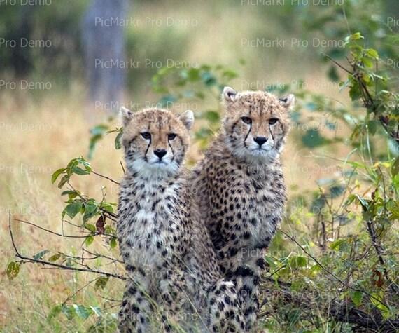 Young Cheetahs ~ Edible 2D Fondant Birthday Cake/Cupcake Topper ~ D21035