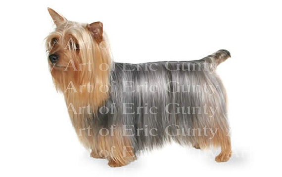 Silky Terrier Dog Birthday - Edible Cake and Cupcake Topper For Birthdays and Parties! - D20844