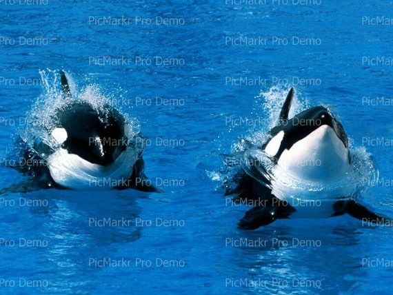 Ocean Life Killer Whale Birthday - Edible Cake and Cupcake Topper For Birthday's and Parties! - D3874