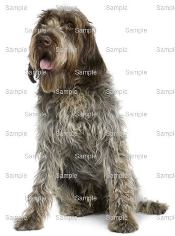 Wirehair Pointing Griffon Dog Birthday ~ Edible 2D Fondant Birthday Cake/Cupcake Topper ~ D6762
