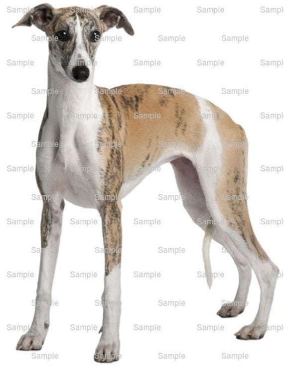 Whippet Dog Birthday - Edible Cake and Cupcake Topper For Birthday's and Parties! - D6760