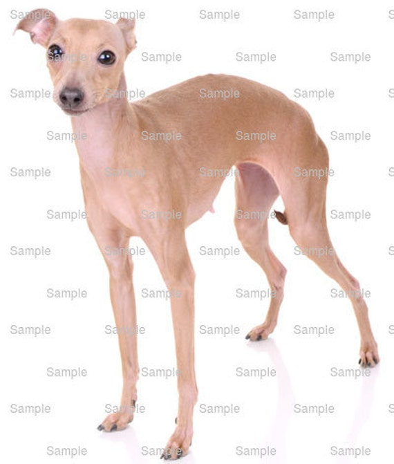 Italian Greyhound Dog Birthday ~ Edible 2D Fondant Birthday Cake/Cupcake Topper ~ D6696