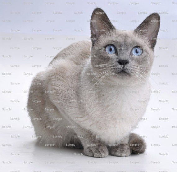 Cat - Siamese ~ Edible 2D Fondant Birthday Cake/Cupcake Topper ~ D6468