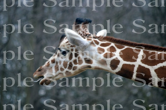 Giraffe Eating African Safari Birthday ~ Edible 2D Fondant Birthday Cake/Cupcake Topper ~ D22367