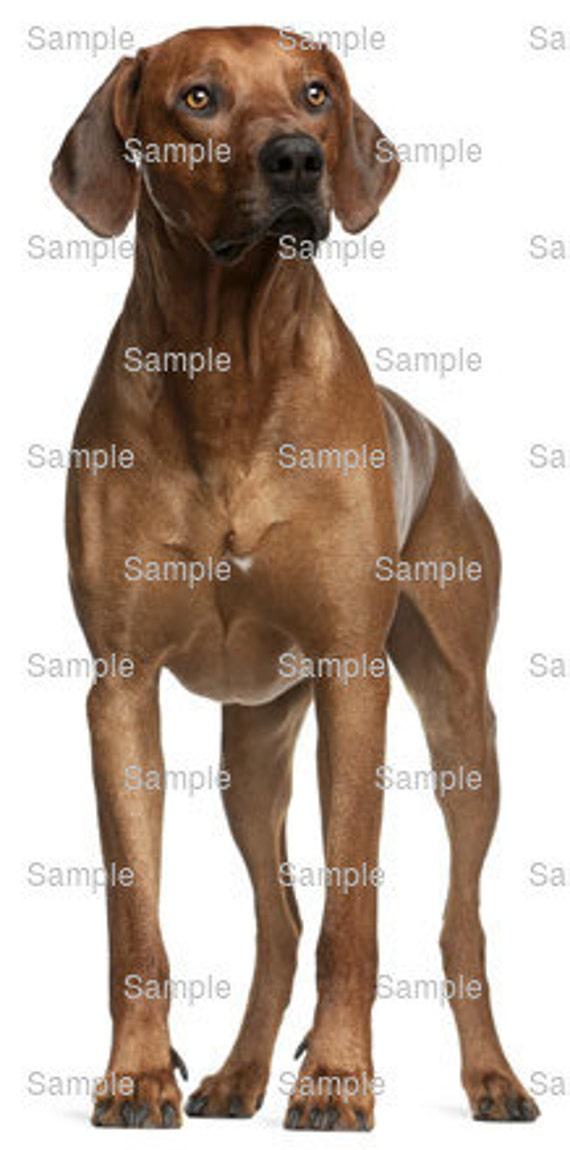 Rhodesian Ridgeback Dog Birthday ~ Edible 2D Fondant Birthday Cake/Cupcake Topper ~ D6730