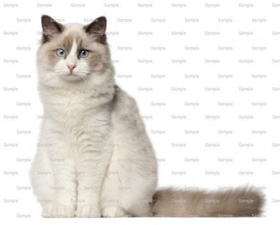 Cat - Ragdoll ~ Edible 2D Fondant Birthday Cake/Cupcake Topper ~ D6463