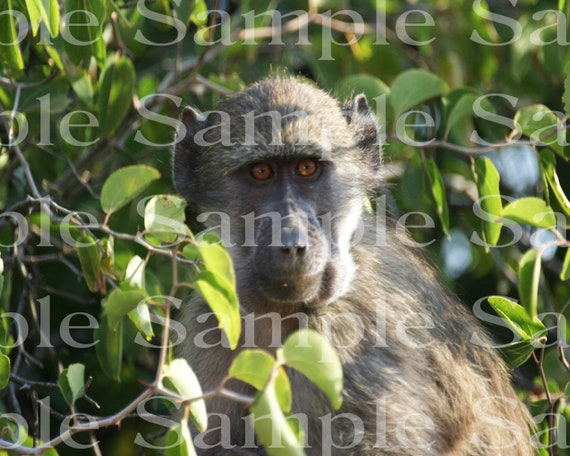 Jungle Baboon Safari Birthday ~ Edible 2D Fondant Birthday Cake/Cupcake Topper ~ D21079