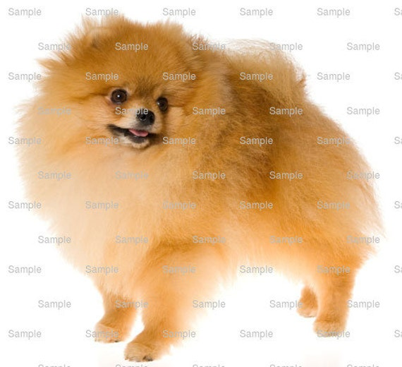 Pomeranian Dog Birthday ~ Edible 2D Fondant Birthday Cake/Cupcake Topper ~ D6727