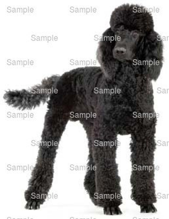 Standard Poodle Dog Birthday ~ Edible 2D Fondant Birthday Cake/Cupcake Topper ~ D6745