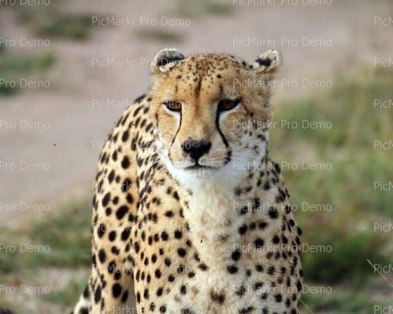 Cheetah ~ Edible 2D Fondant Birthday Cake/Cupcake Topper ~ D21344