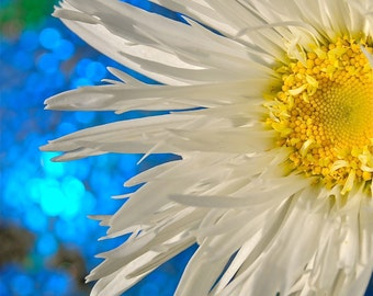 Photo of a Shasta Daisy;  fine art photography; closeup flower photo; available in canvas only.