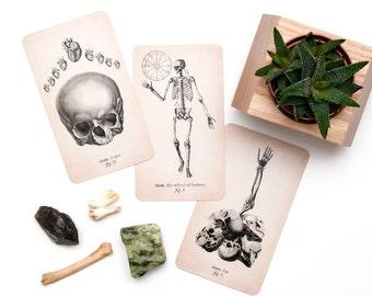 PRE - ORDER, Tarot, Antique Anatomy Tarot Deck, Tarot Deck, Tarot Cards,
