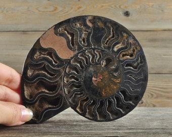 Stunning  Ammonite Fossil Specimen