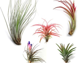 12 Air Plants Wholesale - The Elegant Collection - Set of 12 Air Plants - Fast FREE Shipping - 30 Day Guarantee - Air Plants Bulk