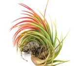 5 Pack - Air Plant - Victoriana Air Plants - Set of 5 - Fast FREE Shipping - 30 Day Guarantee - Air Plants for Sale