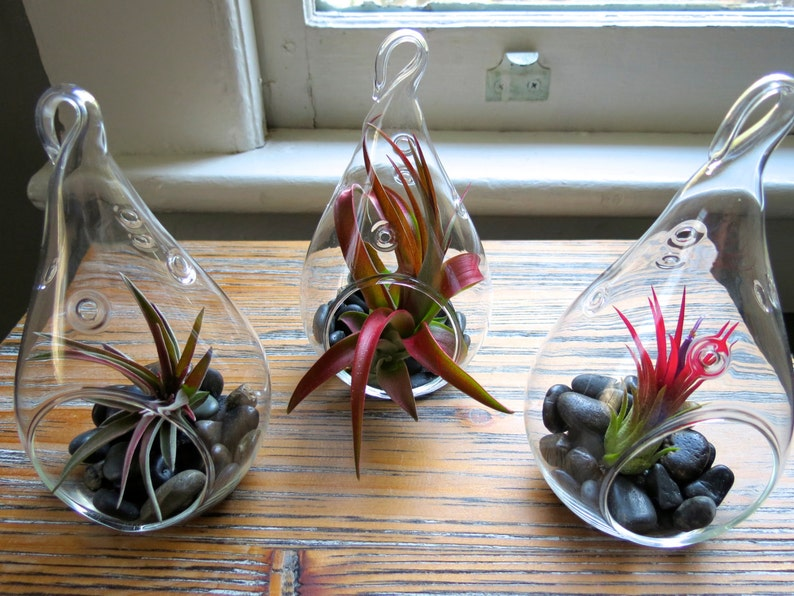 Air Plants for Sale 30 Day Guarantee The 3 Red Hots Hanging Air Plant Terrariums Fast FREE Shipping Wonderful Glass Terrariums
