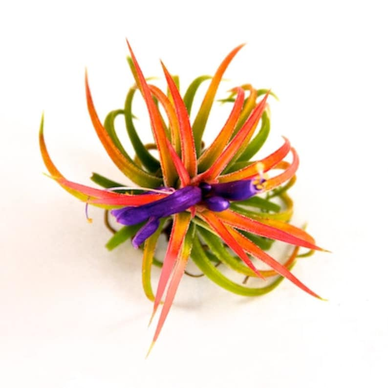 30 Day Guarantee Air Plants Wholesale 50 or 100 75 Packs of 25 Fast FREE Shipping Ionantha Mexican Air Plants Bulk