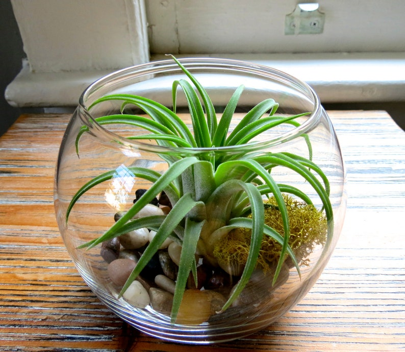 Glass Terrarium With Air Plants Rare Ionantha Huamelula Etsy
