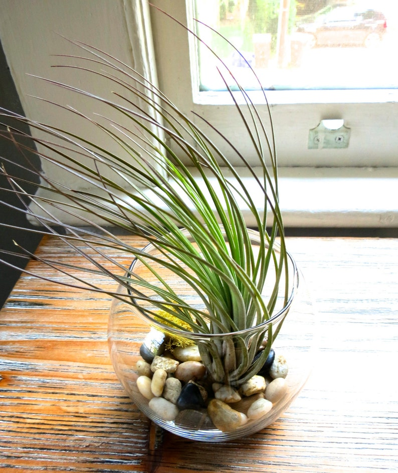 Glass Terrarium With Air Plant Exotic Tall Juncea Etsy