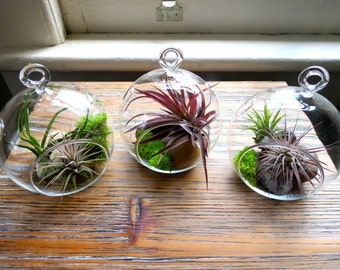 Hanging Air Plant Terrariums - Set of 3 Stunning Glass Terrariums with Five Air Plants - Fast FREE Shipping - 30 Day Guarantee