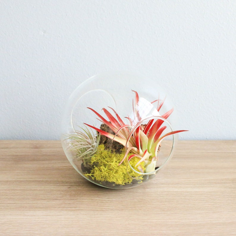 Large Glass Terrarium With Air Plants With Red Abdita Etsy