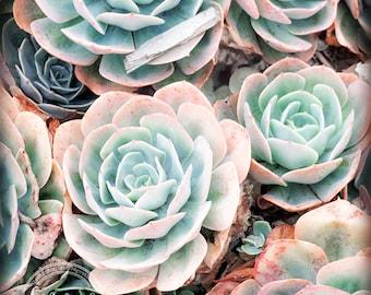 Succulent Plant Photo | Botanical Art | Mint Plant Print | Organic Flower Art | Blue Green Print | Southwest Nature | Coastal Morro Bay Art