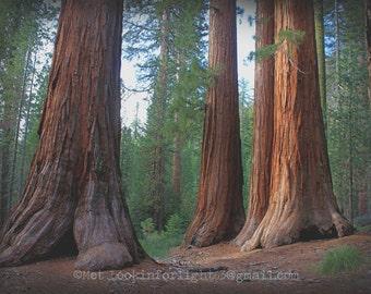 Tree Photo Art | Sequoia Photo | Yosemite Photo | Woodland Print | Mariposa Grove Print | Yosemite National Park | Bachelor & Three Graces